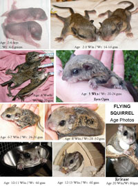 Care For Baby Flying Squirrels Flyers The Arc Animal