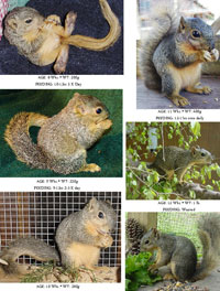 Fox Squirrels (8-13 Weeks)